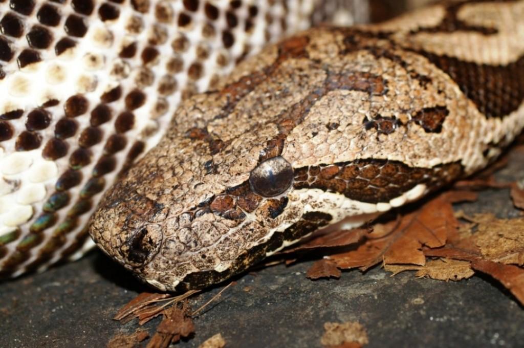 Un serpent à l'affût - Crédit photo: www.pratique.fr